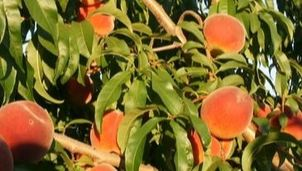 The Fruit Shack Tree Ripened Peaches